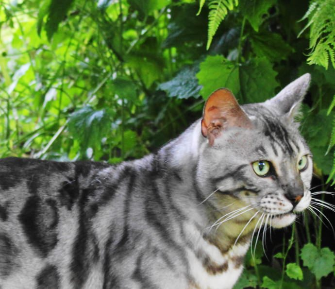 RW SGCH SILVERSTORM THE MAHARAJAHS CAT (now retired)